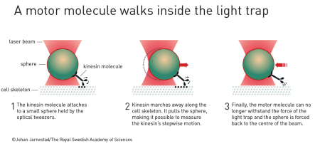 A motor molecule walks inside the light trap (šířka 450px)